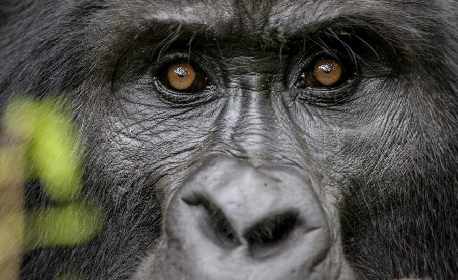 Portrait of the Endangered Silverback Mountain Gorillas